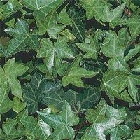 Bouillie de feuilles de lierre pour réduire la cellulite et la peau d'orange